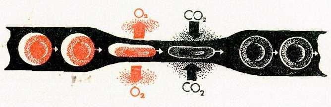 Как насытить кровь кислородом в домашних условиях